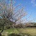 お屋敷と桜